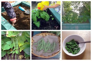 Children planting green bean seeds, watering them, the plants getting larger, green beans growing, in a basket, and cooked green beans in a bowl.