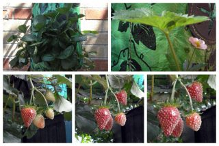 A strawberry plant growing in a topsy turvy planter, a flower growing, pale strawberries, and ripe strawberries hanging from the planter.