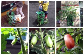 A child planting and watering tomatoes, the plant growing, green tomatoes forming, and ripe orange-red tomatoes.
