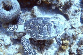 Hawksbill Sea Turtle in the ocean
